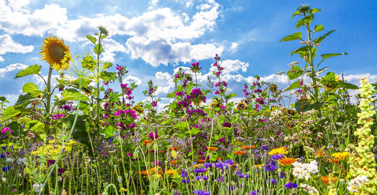 Bunte Blumenwiese für Insekten